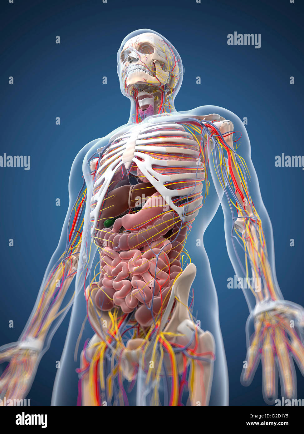 Menschliche Anatomie Computer Grafik Stockfoto, Bild: 53147337 - Alamy