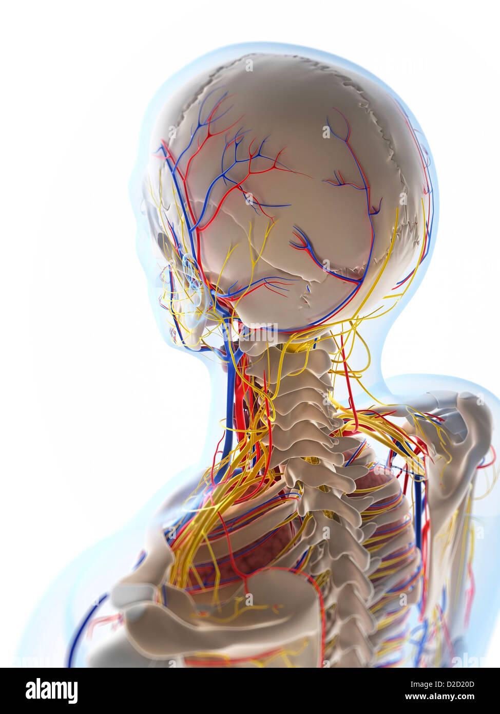 Menschliche Anatomie Computer Grafik Stockfoto, Bild: 53147373 - Alamy