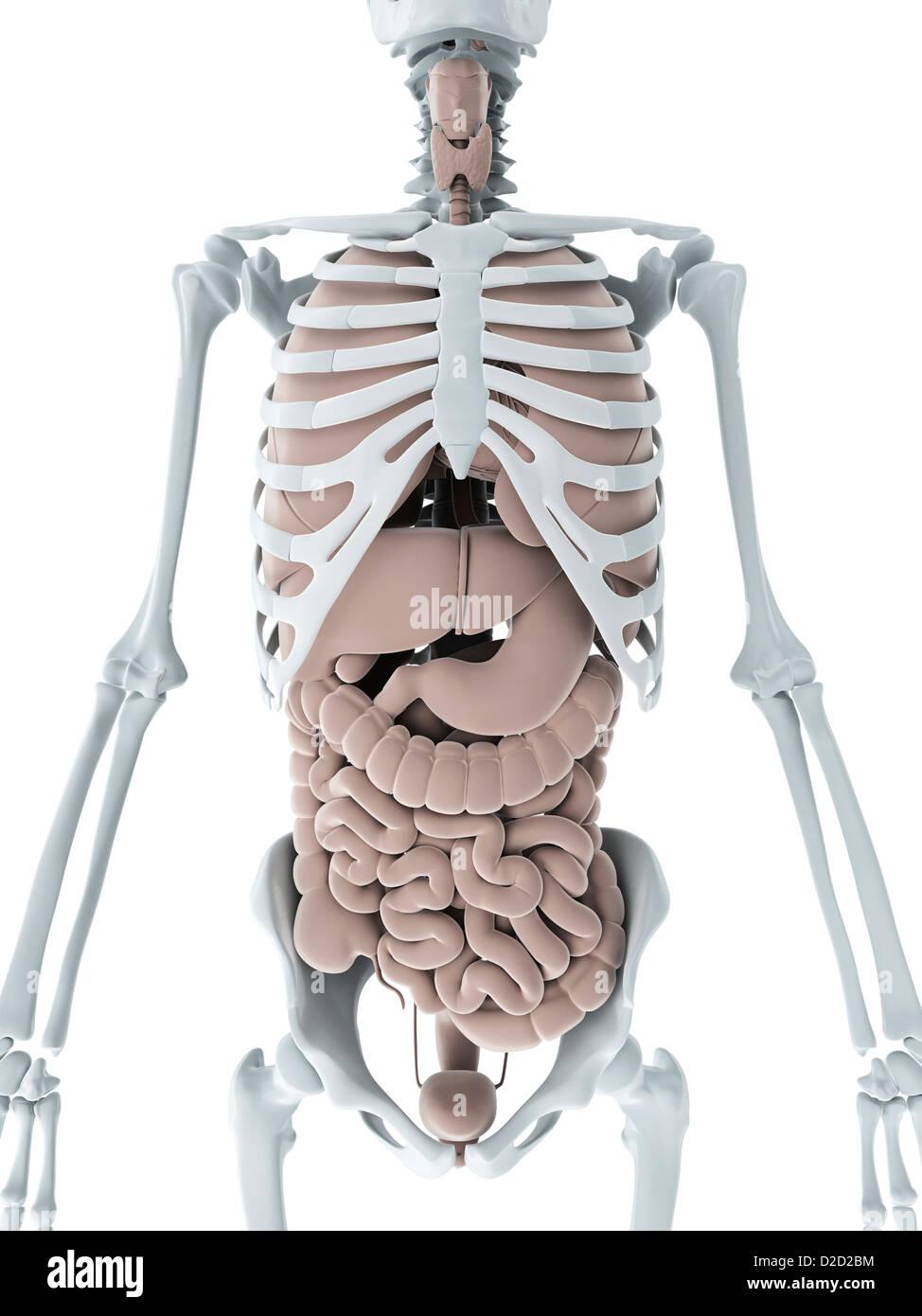 Wunderbar Was Ist Die Menschliche Anatomie Galerie - Menschliche ...
