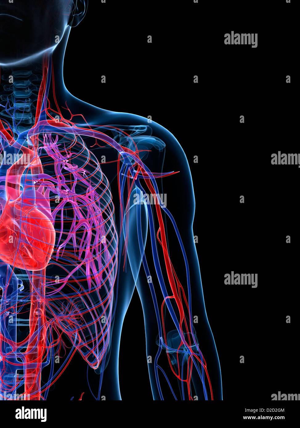 Erfreut Bilder Von Herz Kreislauf System Bilder - Physiologie Von ...