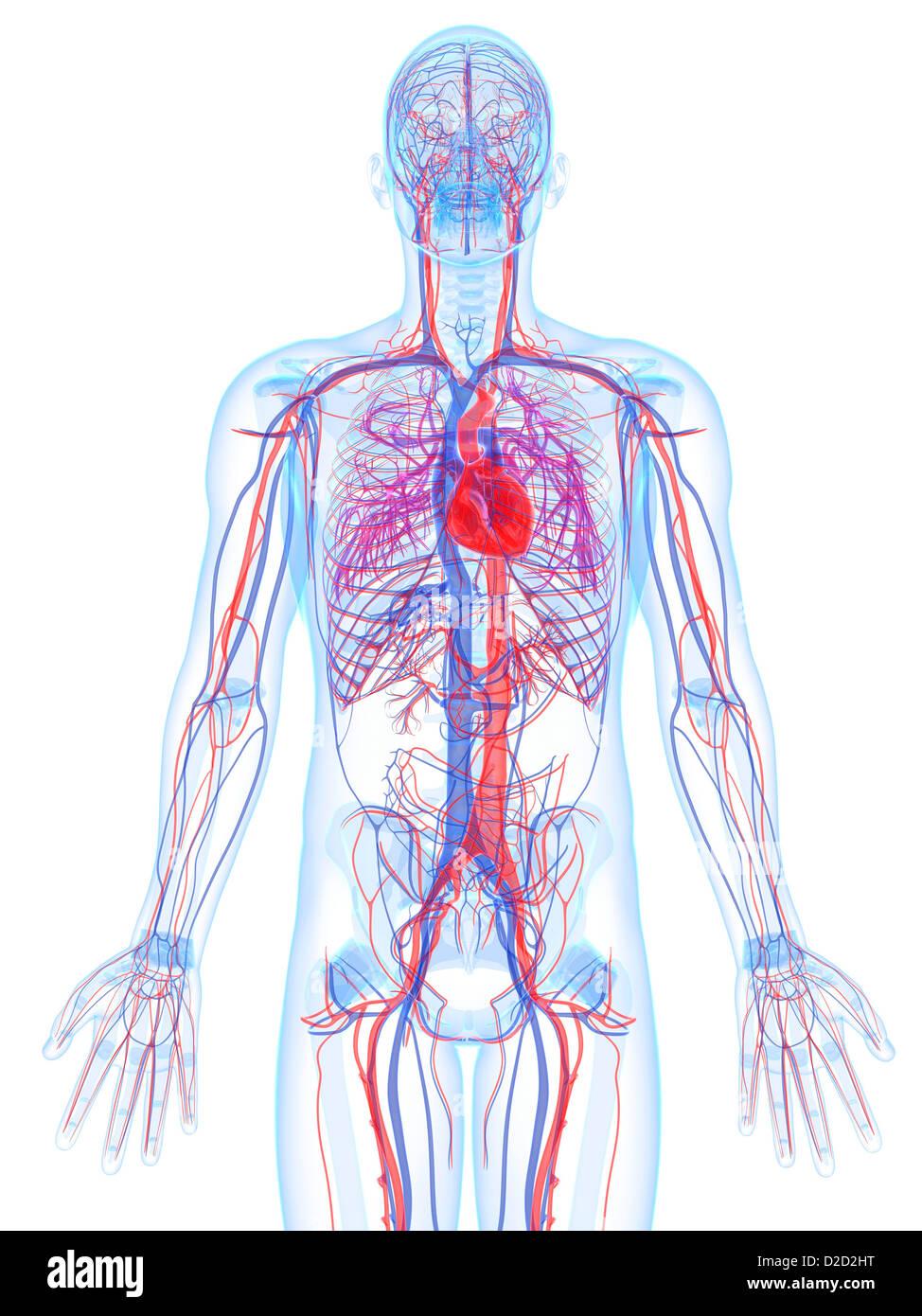 Nett Herz Kreislauf System Organe Und Funktionen Ideen - Physiologie ...