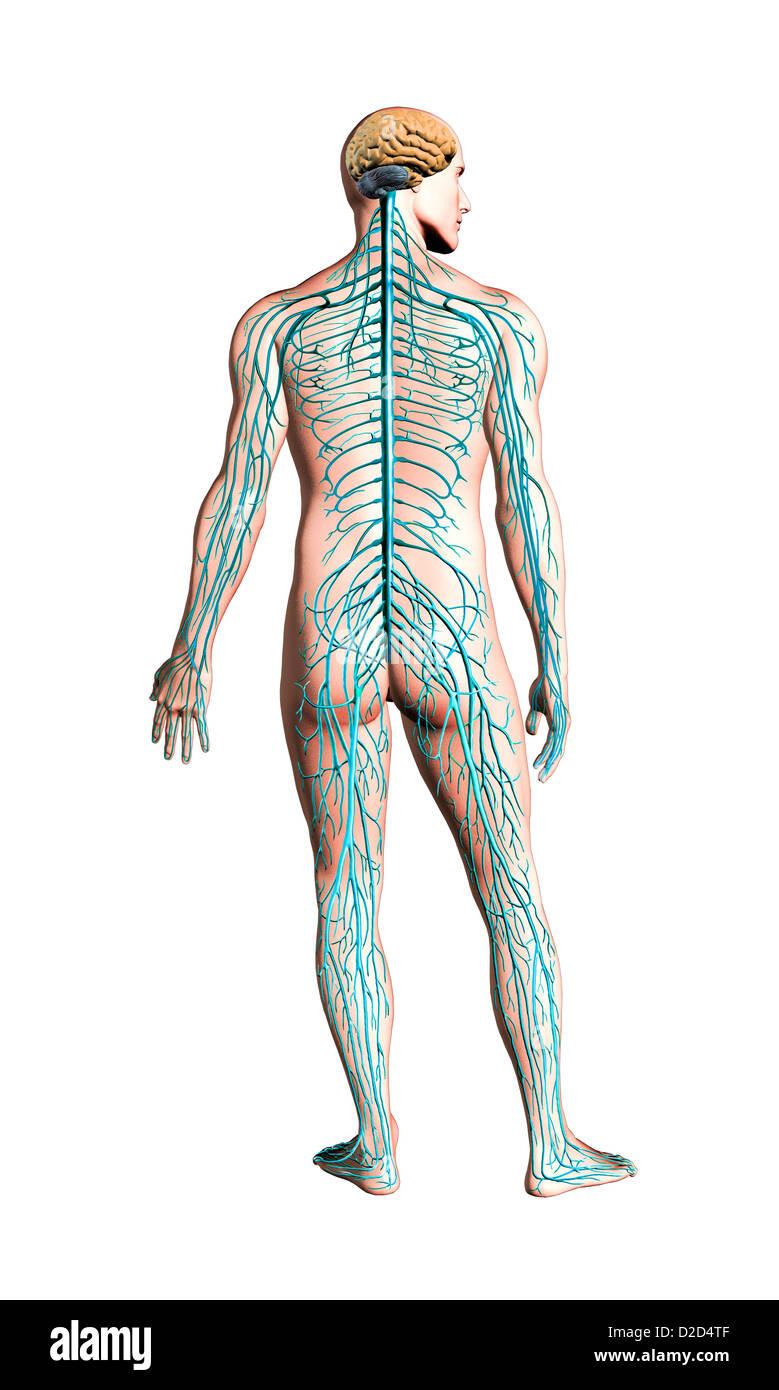 Human Nervous System Stockfotos & Human Nervous System Bilder - Alamy