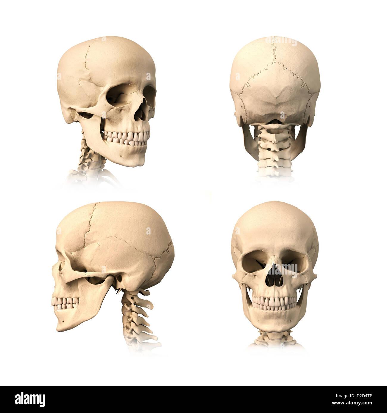 Beste Menschlicher Schädel Diagramm Mit Etikett Bilder - Menschliche ...