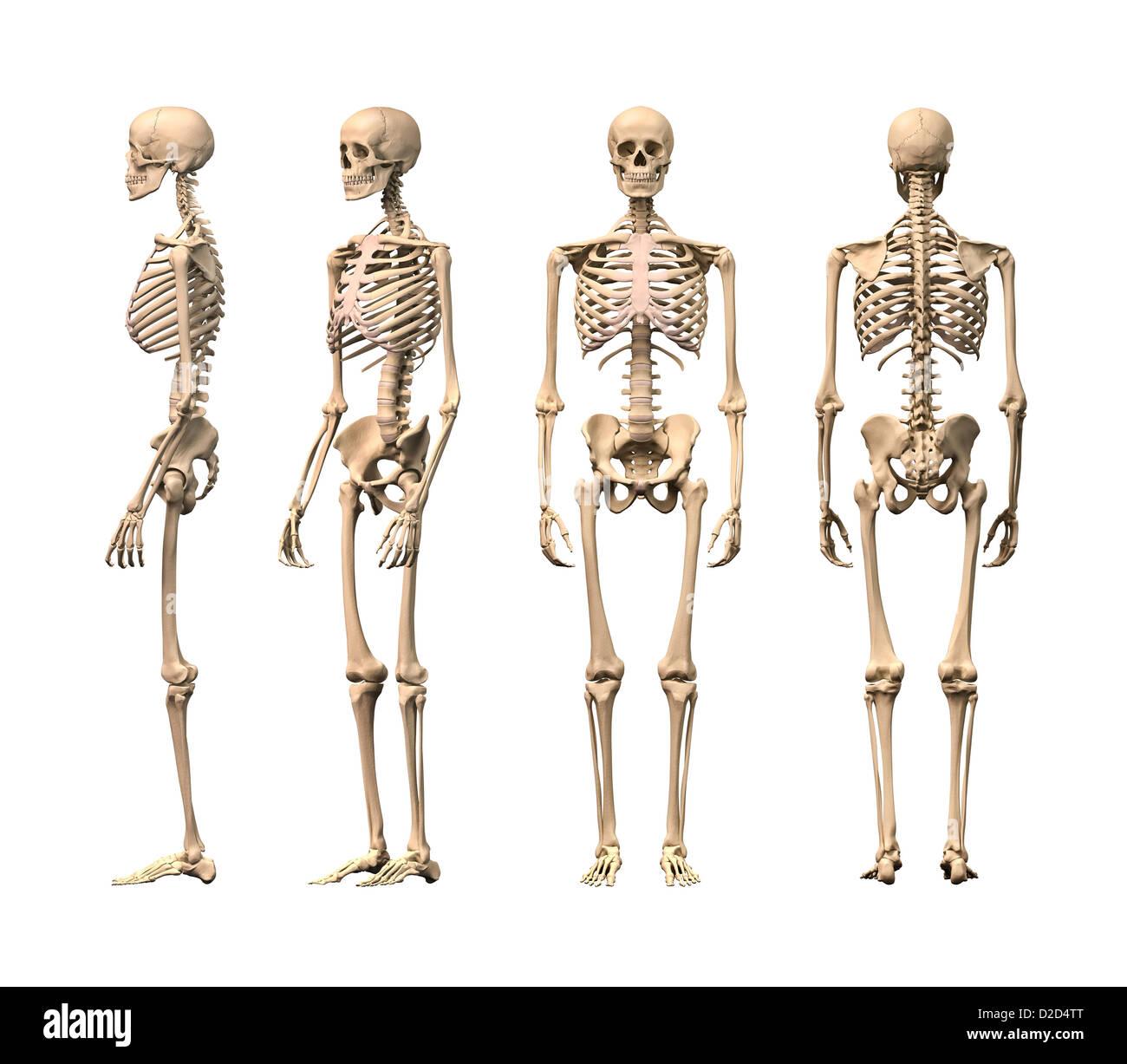 Menschliches Skelett Computer Grafik Stockfoto