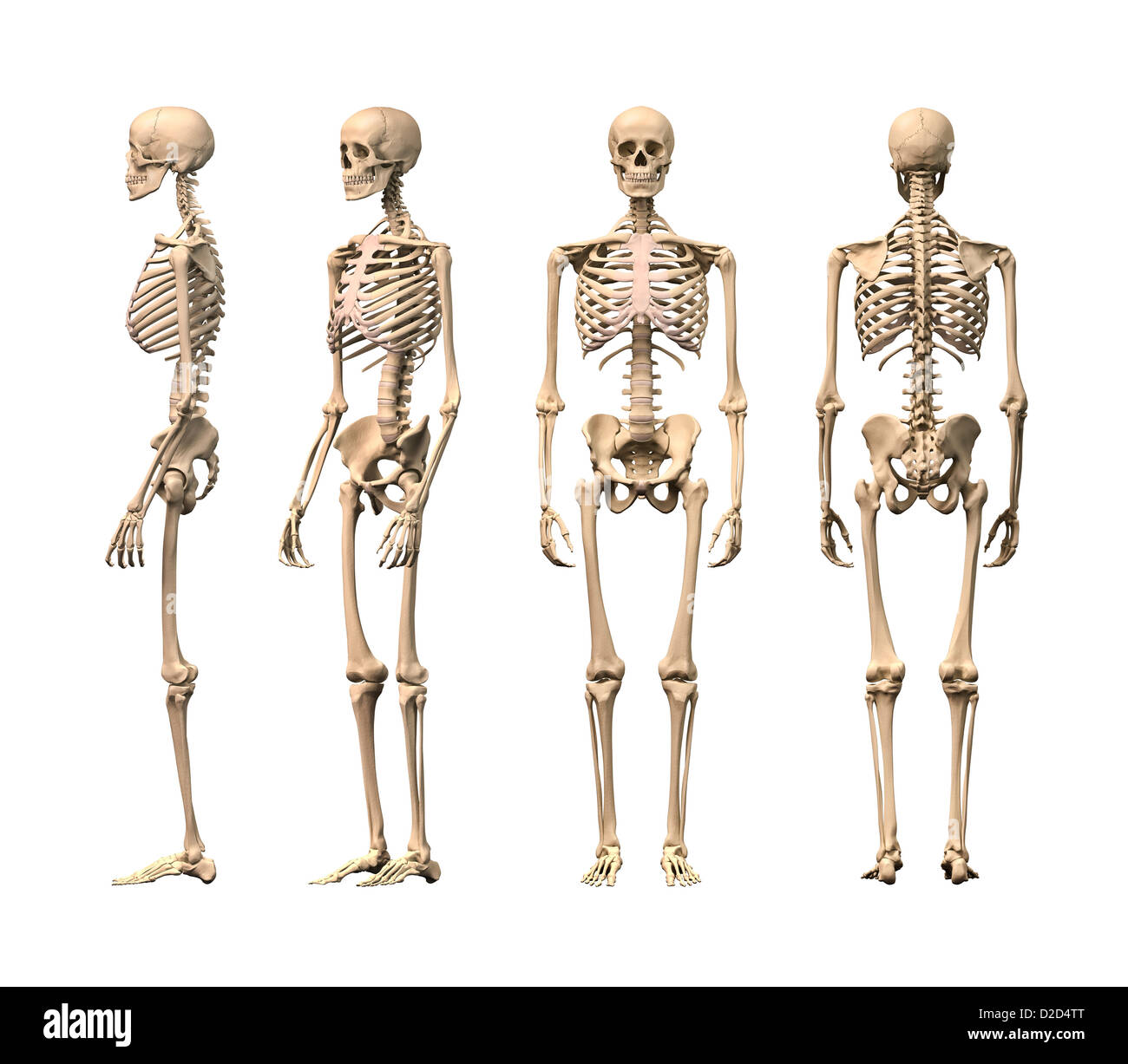 Menschliches Skelett Computer Grafik Stockbild