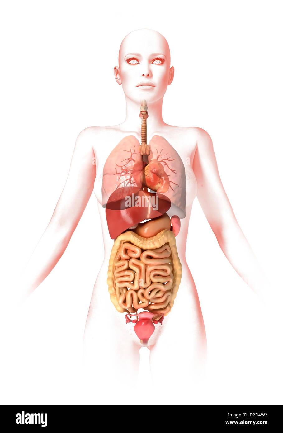 Weibliche Anatomie Computer Grafik Stockfoto, Bild: 53149630 - Alamy
