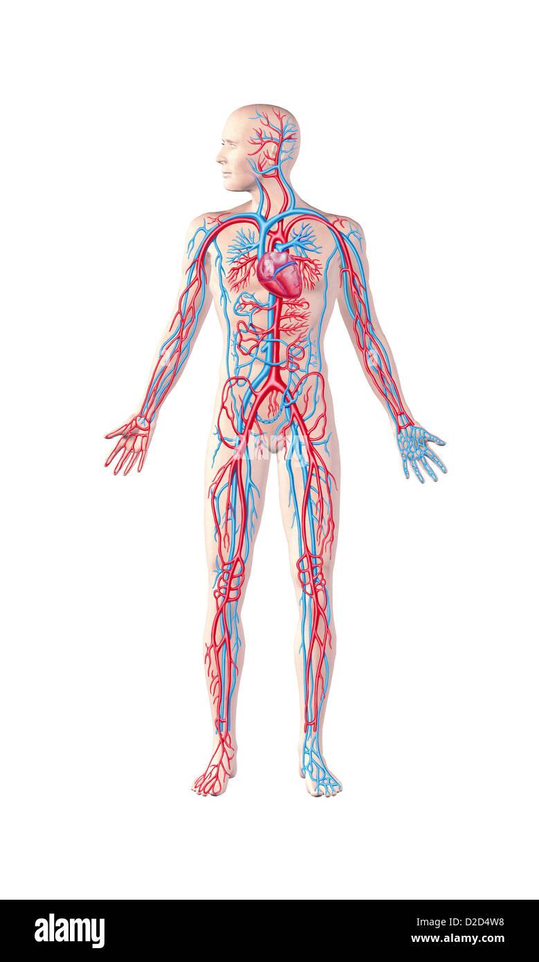 Menschliches Herz-Kreislauf-System Computer Grafik Stockfoto, Bild ...
