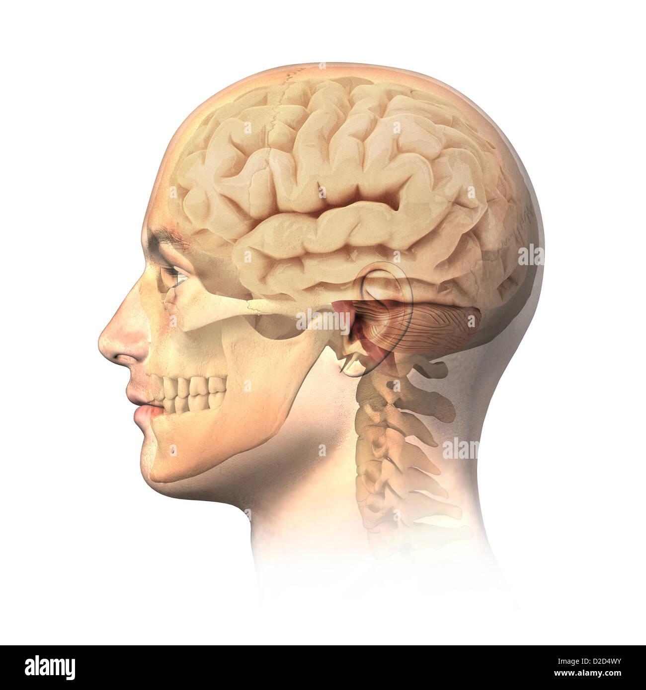 Anatomie des Menschen Kopf Computer Grafik Stockfoto, Bild: 53149655 ...