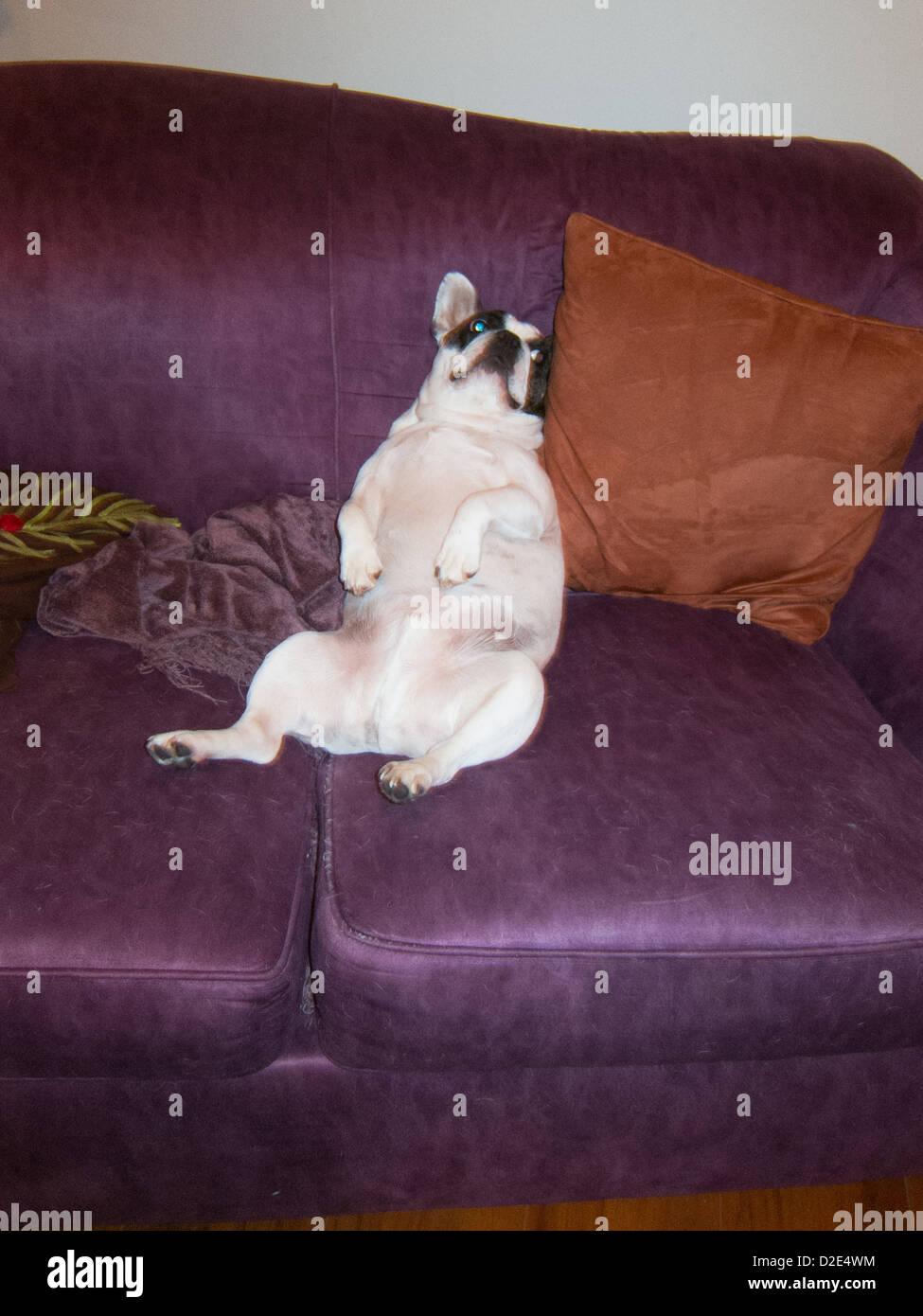 Französische Bulldogge entspannend wie ein Mensch auf dem Sofa. Stockbild