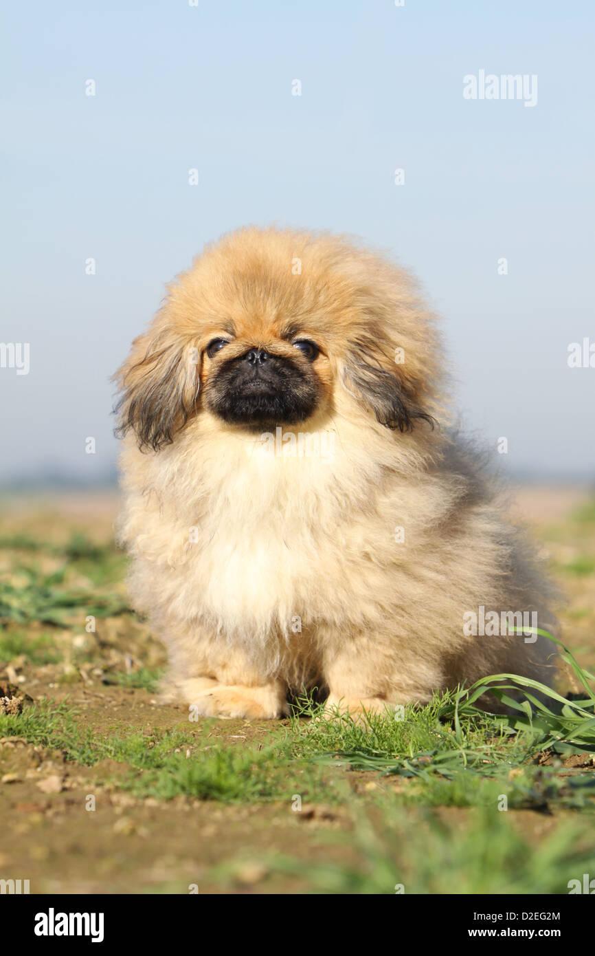 Pekinese Hund Pekinese Pékinois Welpen Sitzen In Einem Feld