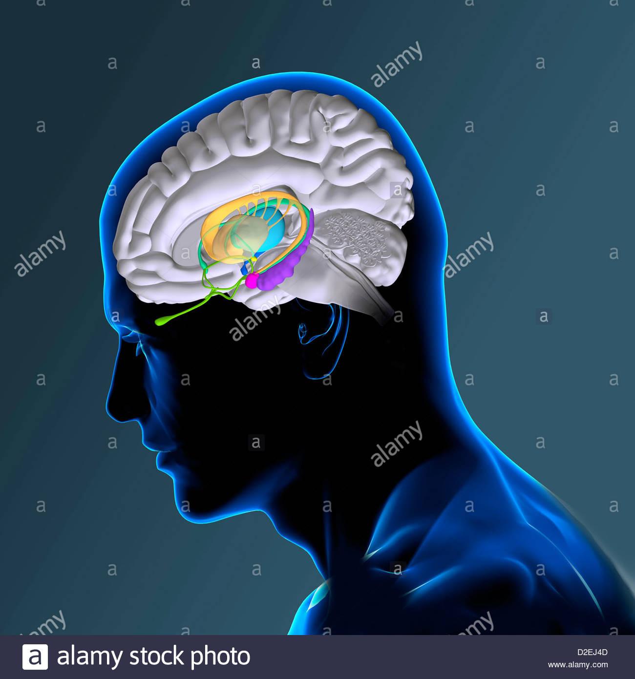 Niedlich Gehirn Anatomie Interaktiv Fotos - Menschliche Anatomie ...
