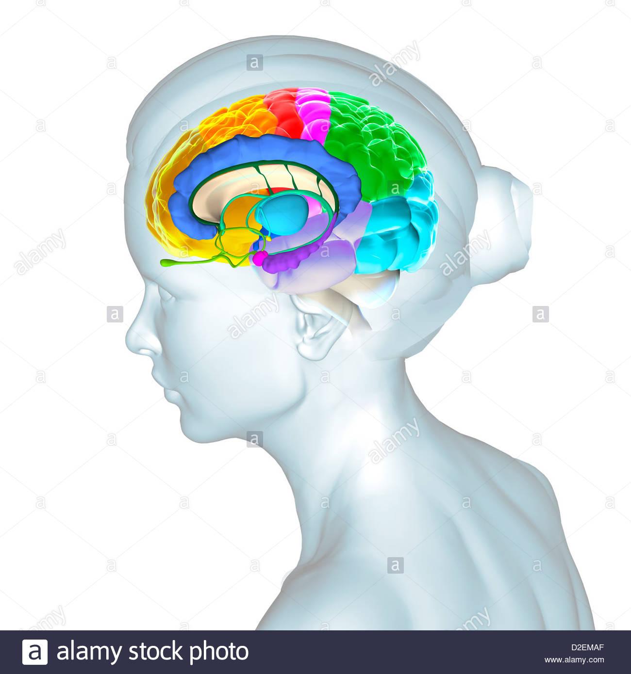 Gyri Of The Brain Stockfotos & Gyri Of The Brain Bilder - Alamy