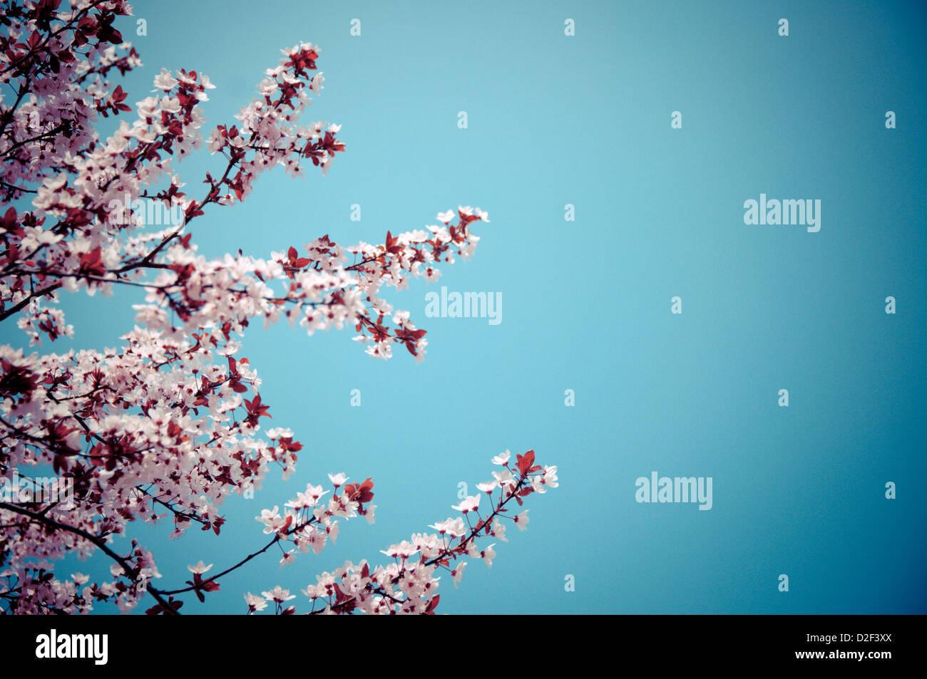 Blühenden Ast im frühen Frühling und blauer Himmel als Hintergrund Stockbild