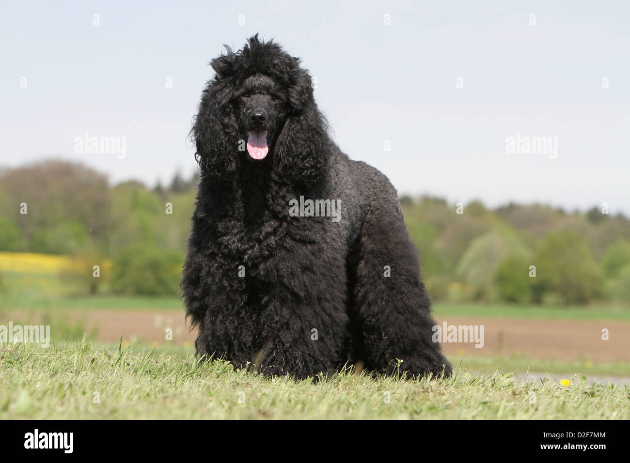 pudel hund pudel caniche standard riesen erwachsener schwarz stehen auf einer wiese. Black Bedroom Furniture Sets. Home Design Ideas
