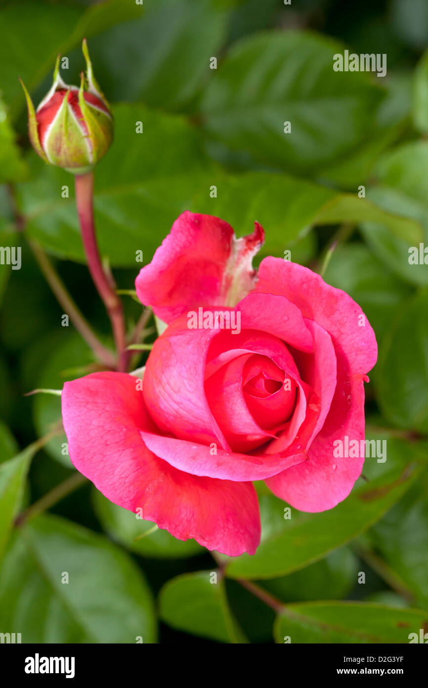 "Rambler rose ""Rosanna"", Rosa, Rosales, Rosengewächse, Stockbild"