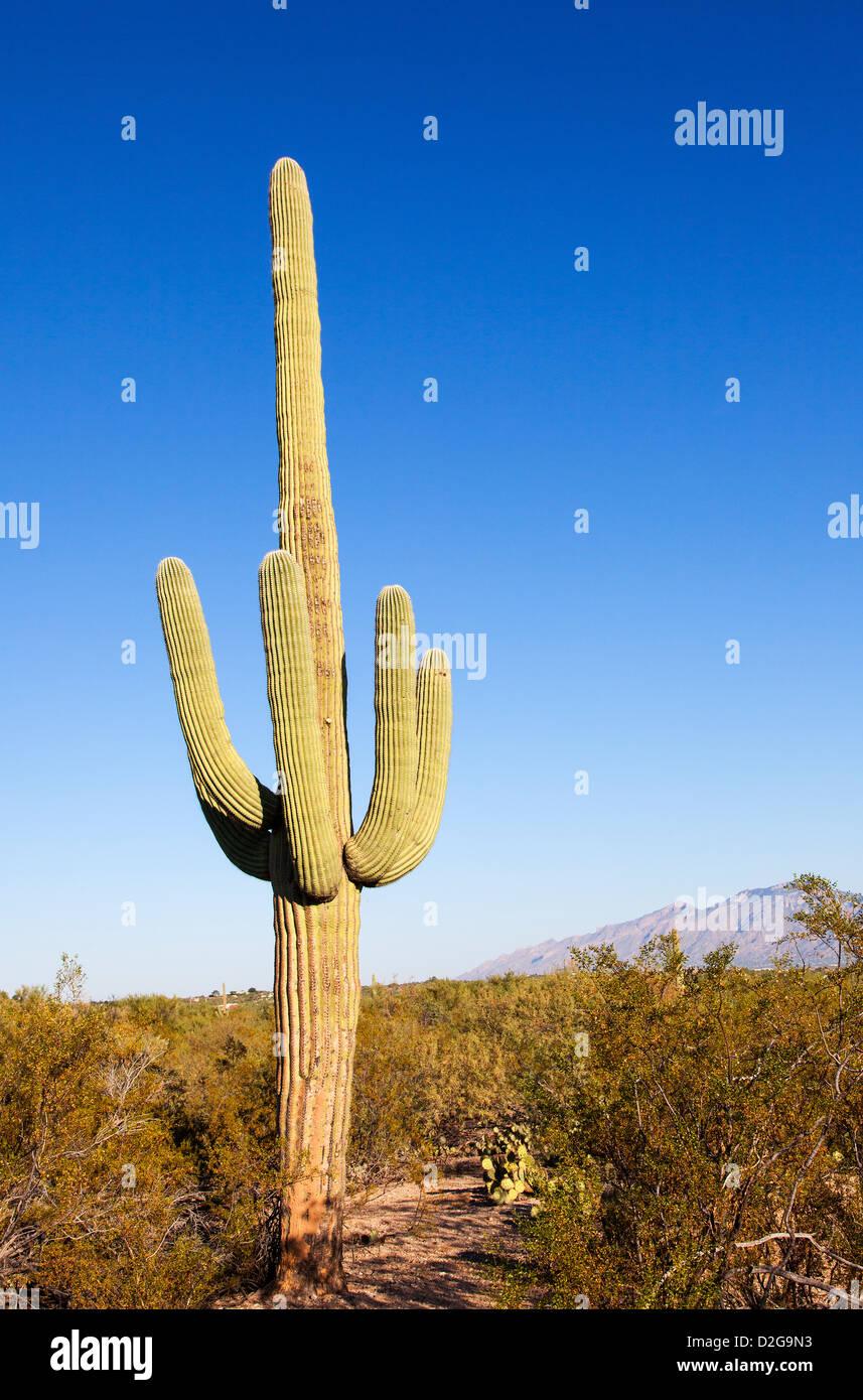 Riesige Kakteen im Saguaro Nationalpark, Arizona, USA Stockfoto