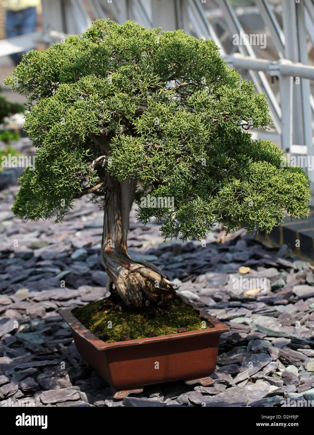 bonsai baum chinesische wacholder juniperus chinensis cupressaceae stockfoto bild 53241182. Black Bedroom Furniture Sets. Home Design Ideas