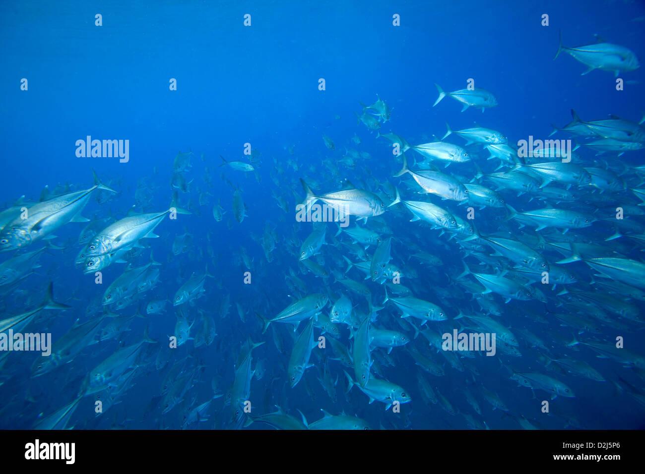 Eine große Schule Buben im klaren blauen Wasser am Cabo Pulmo National Marine Park, Mexiko. Stockfoto