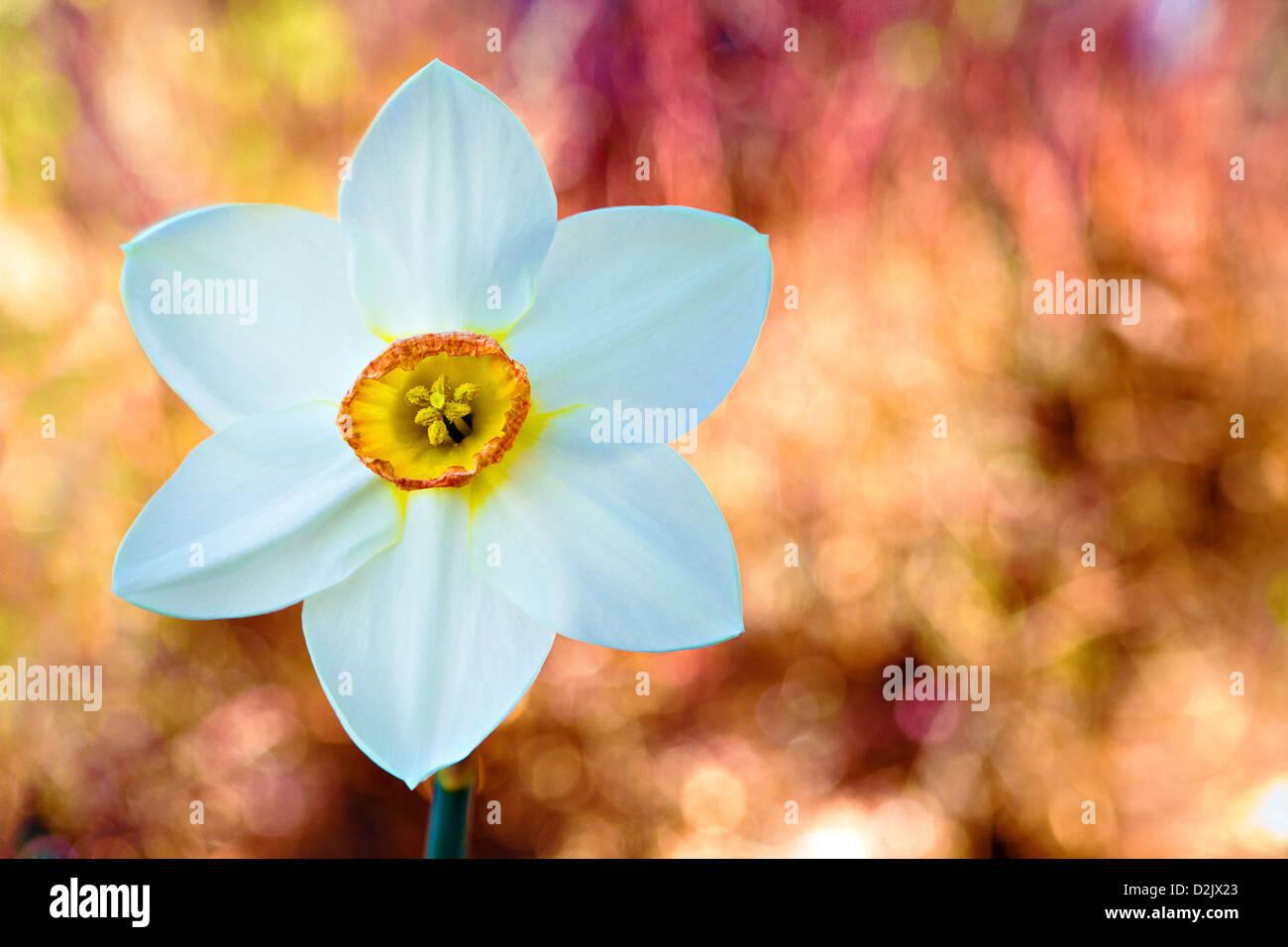 Weiße Narzisse mit gelben Zentrum frühlingshaften Pastell Bokeh Hintergrund Stockbild