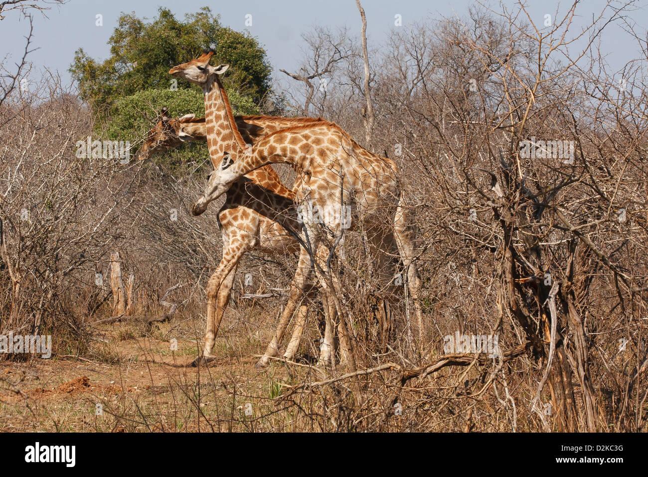 Drei männliche Giraffen Gebiet heftig streiten Stockbild