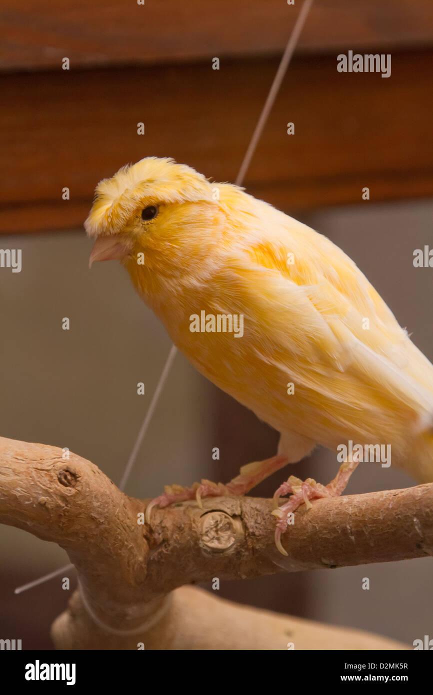 Crested gelbe Kanarienvogel. in Gefangenschaft fotografiert. Stockbild