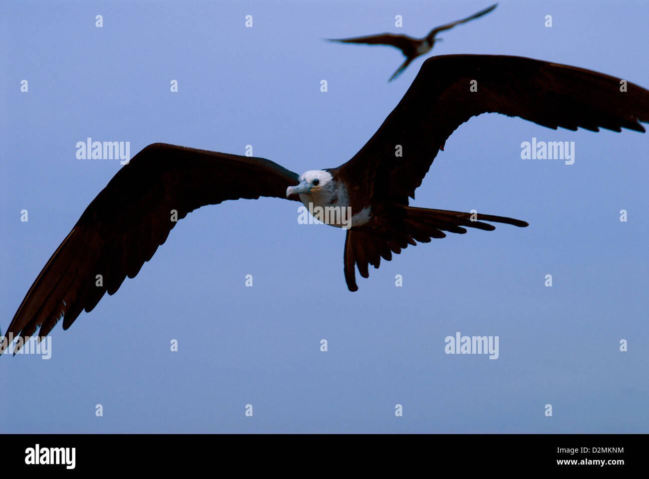 Fregattvögel, Mazatlan, Mexiko Stockbild