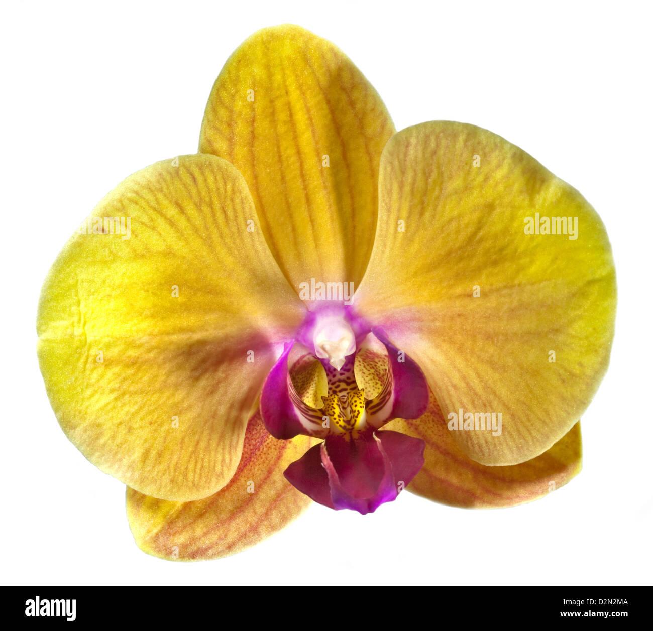 Sonderpreis Phalaenopsis Hybride gelb Orchidee Orchid