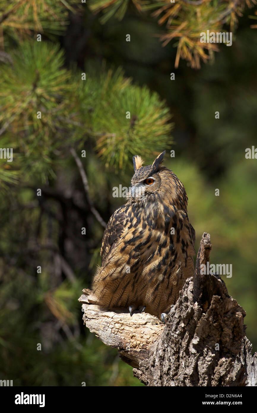 Eurasische Adler-Eule (Bubo Bubo), Bearizona Wildlife Park, Williams, Arizona, Vereinigte Staaten von Amerika, Nordamerika Stockfoto