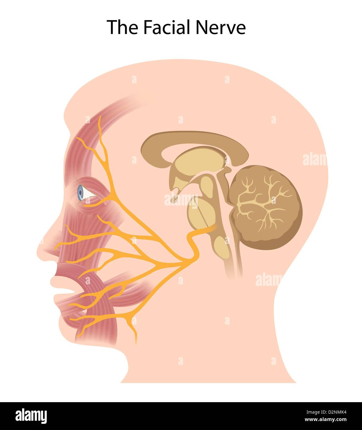 Nervus facialis Stockfoto, Bild: 53337624 - Alamy