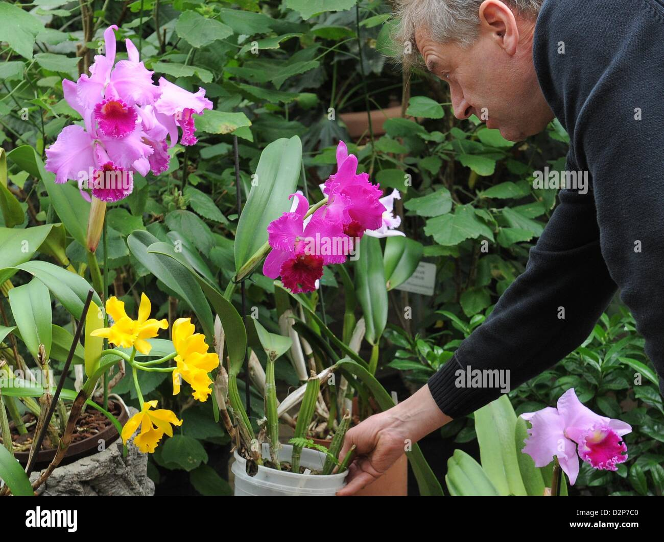 orchidee z chter hans joachim wlodarczyk stellt eine orchidee arten cattleya in der. Black Bedroom Furniture Sets. Home Design Ideas
