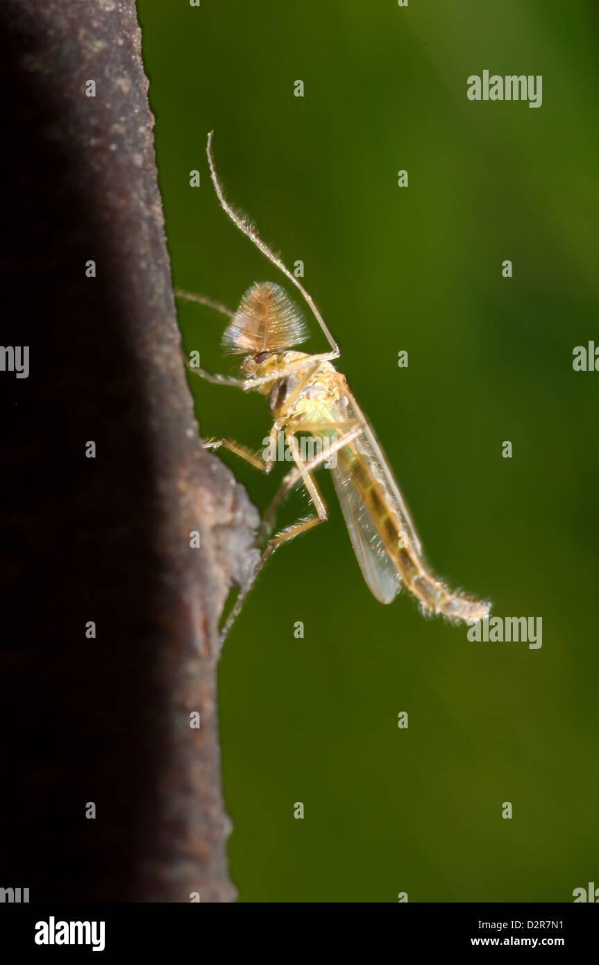Summer-Mücke (Chironomus Plumosus), Männlich, nicht-beißen Midge, Ukraine, Osteuropa Stockbild