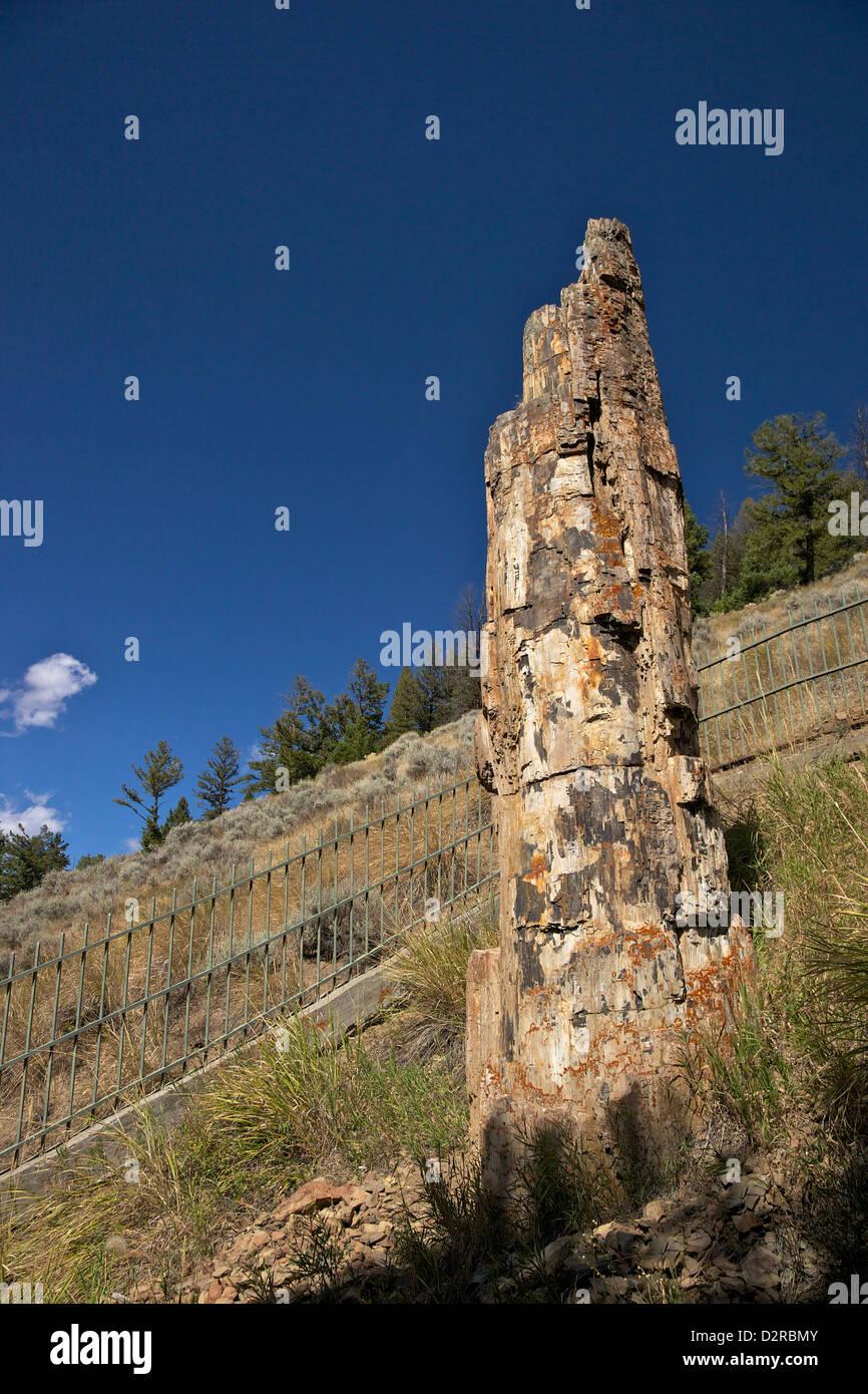 Versteinerter Baum in der Nähe von Tower-Roosevelt, Yellowstone-Nationalpark, Wyoming, USA Stockbild