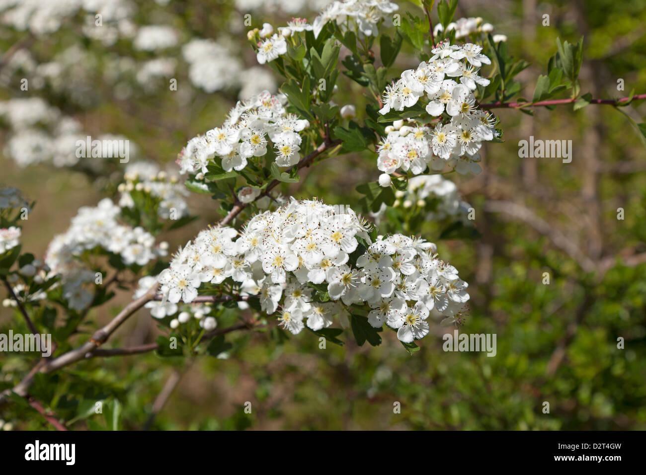 Frische weiße Blüte Manuka Stockbild