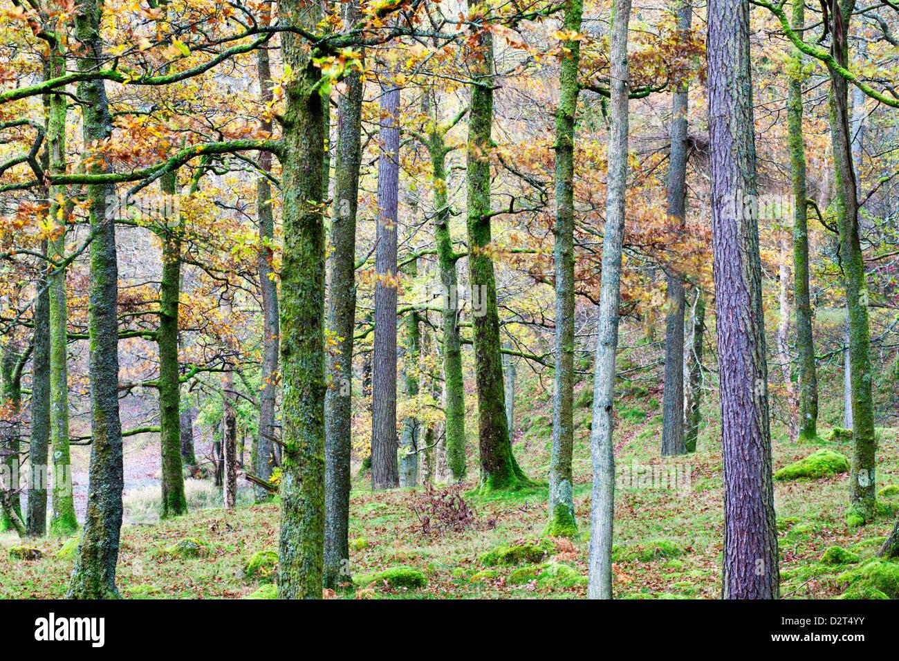 Kiefern im Wald in der Nähe von Grange, Borrowdale, Nationalpark Lake District, Cumbria, England, Vereinigtes Stockbild