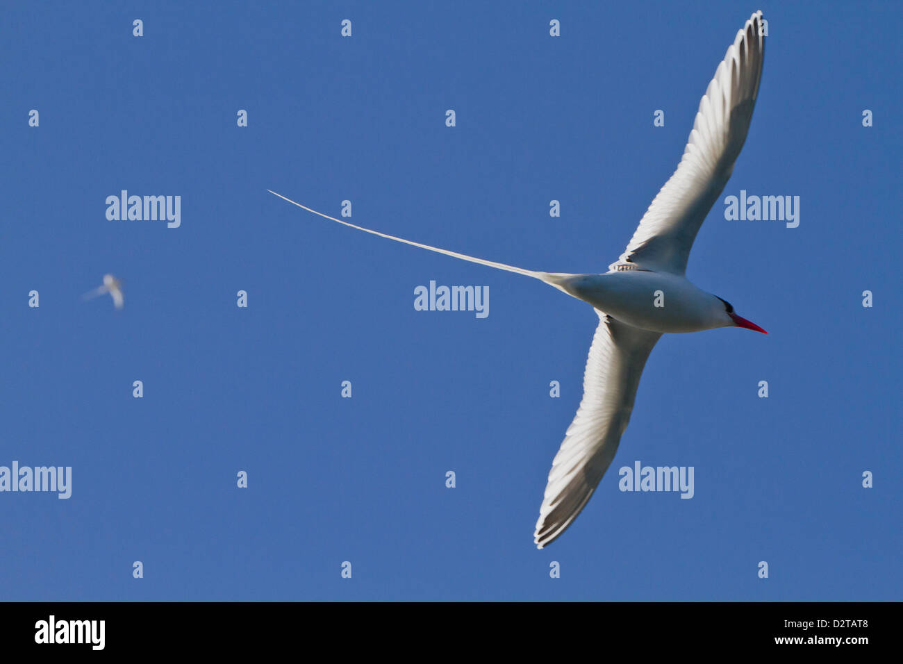 Erwachsenen rot-billed Tropicbird, Isla San Pedro Martir, Golf von Kalifornien (Sea of Cortez), Baja California, Stockbild