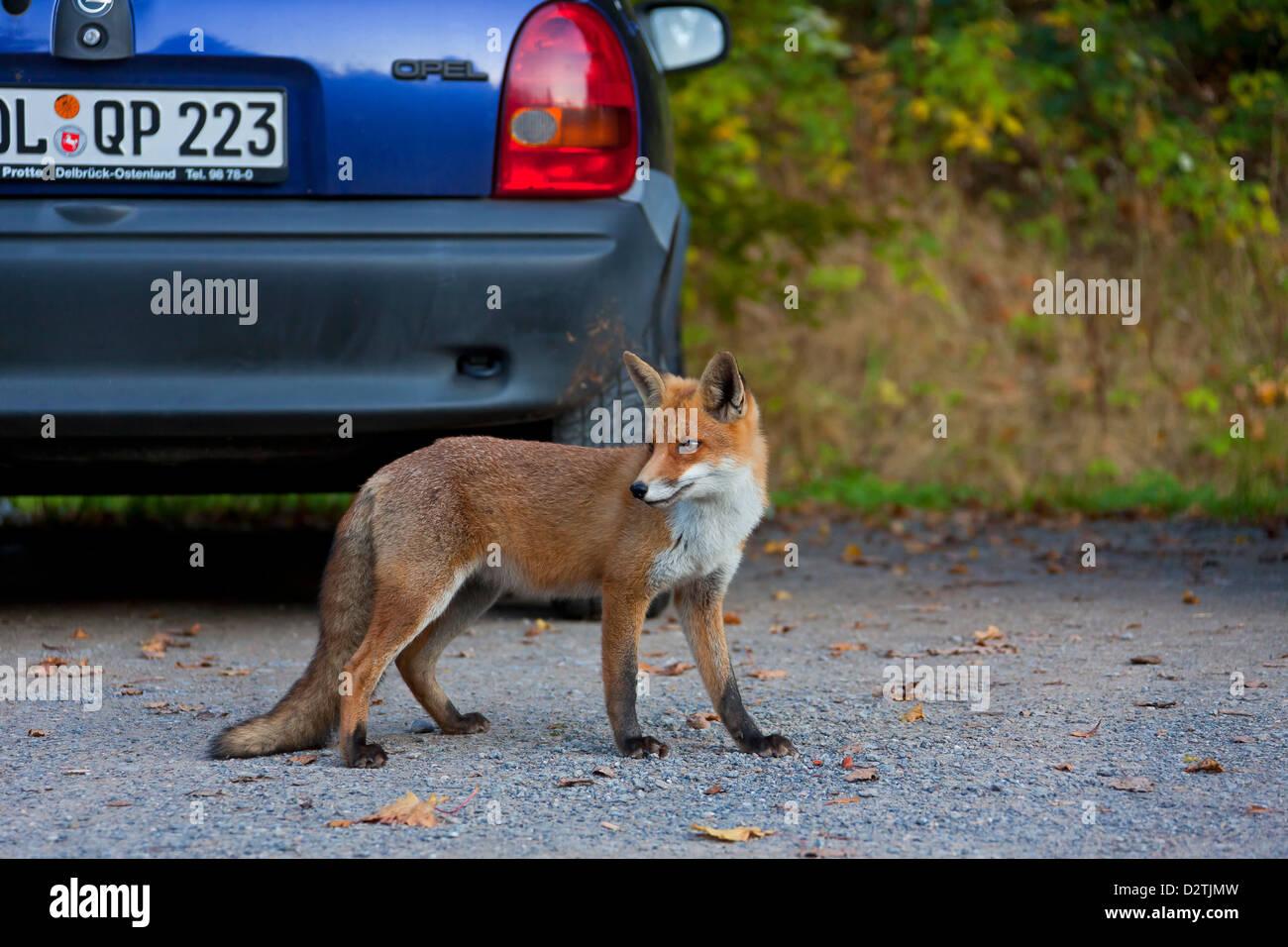 Zähmen Sie, Rotfuchs (Vulpes Vulpes) Jugendliche auf der Suche nach Nahrung unter Autos auf dem Parkplatz, Stockbild