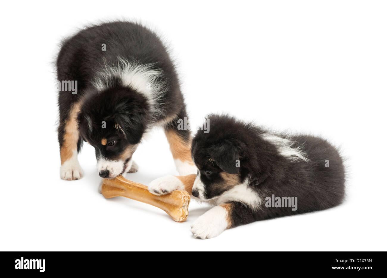 2 Australian Shepherds Stockfotos & 2 Australian Shepherds Bilder ...