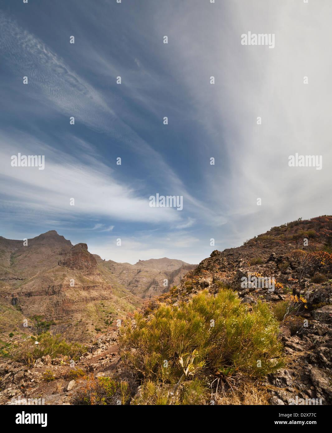 Weiß-blühenden Ginster (Retama Blanca) wächst auf einem hohen Felsen über der Stadt Masca, Teno-Massivs, Teneriffa Stockfoto