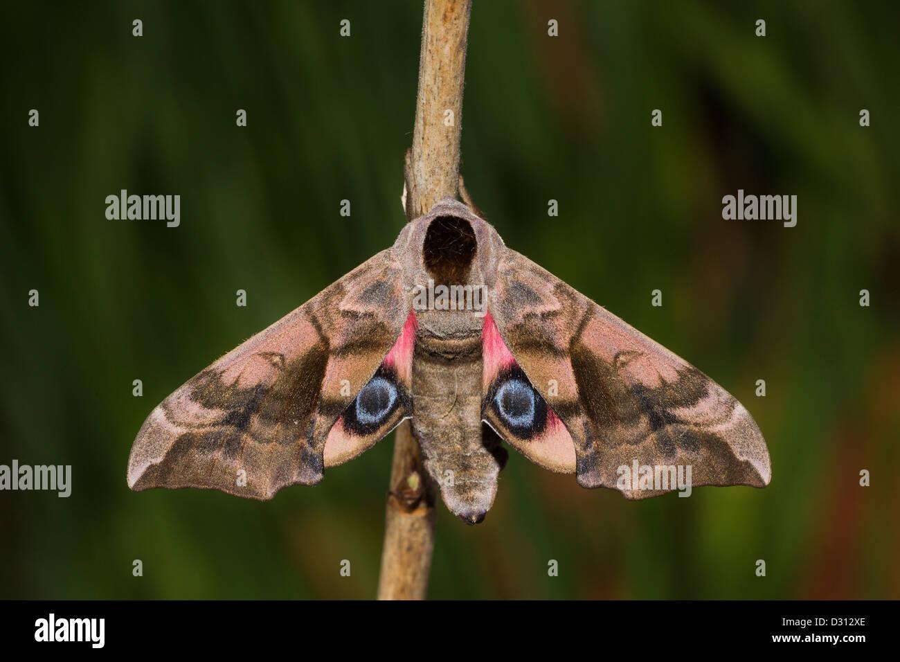 Abendpfauenauge Eyed Hawk-Moth Stockbild