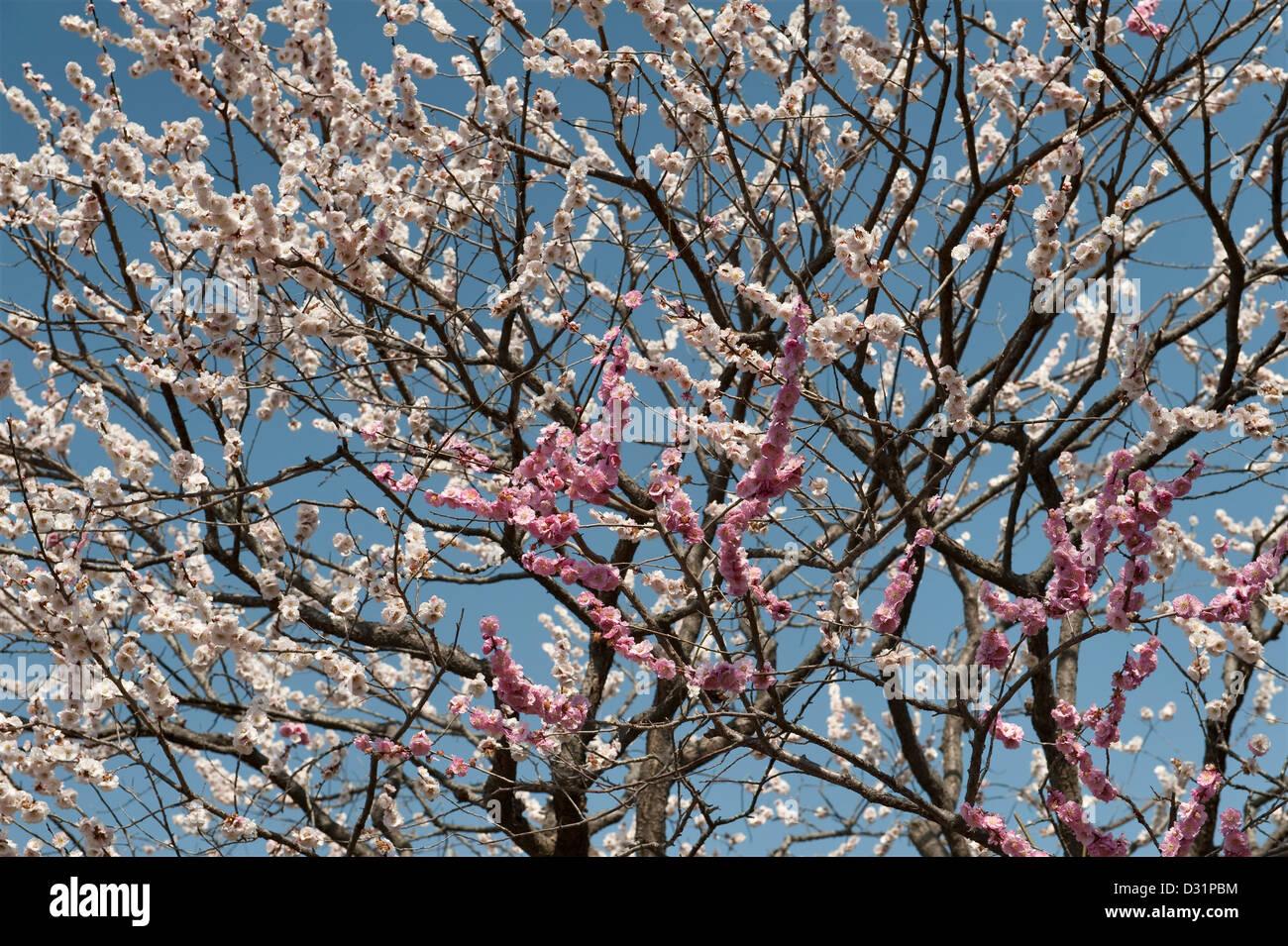 Mito, Japan. Pflaumenblüte im Frühjahr in den Gärten der Kairaku-En, eines der drei großen Gärten Stockbild