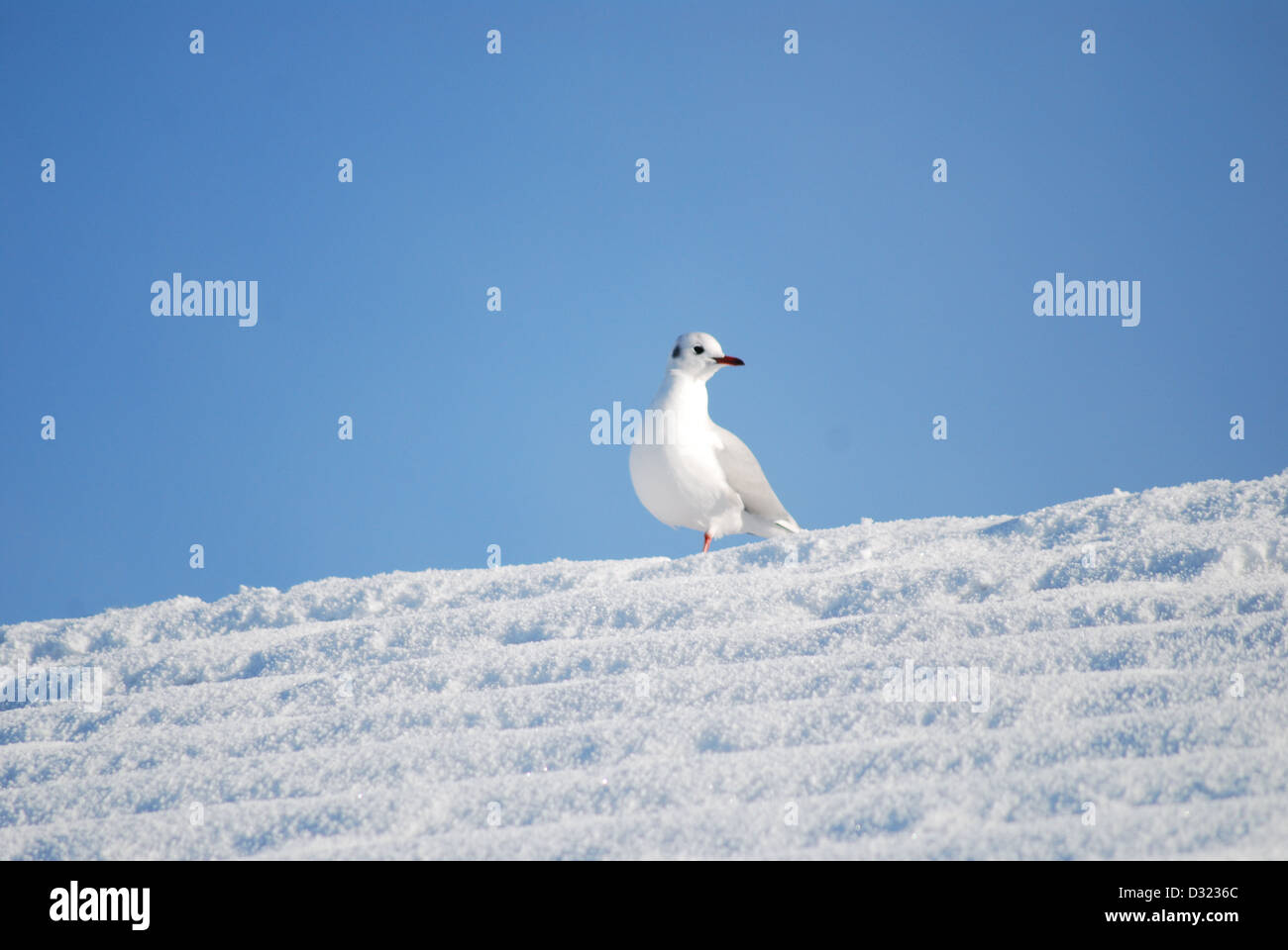 Eine Möwe auf einem Dach bedeckt im Schnee, im Winter mit einem strahlend blauen Himmelshintergrund mit sehr einfachen Stockfoto