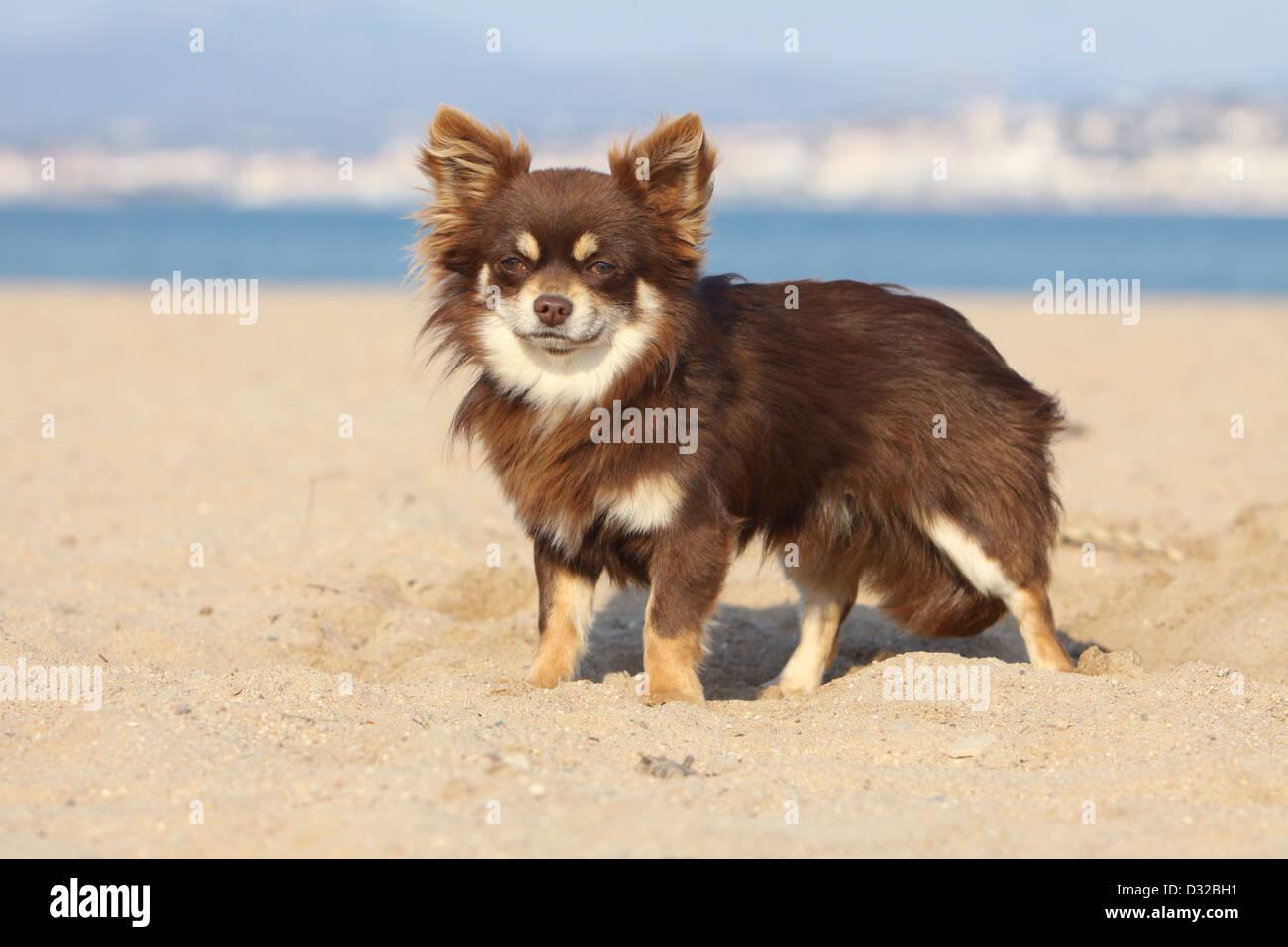 Hund Chihuahua Langhaar Erwachsene Stehen Am Strand Stockfotografie Alamy