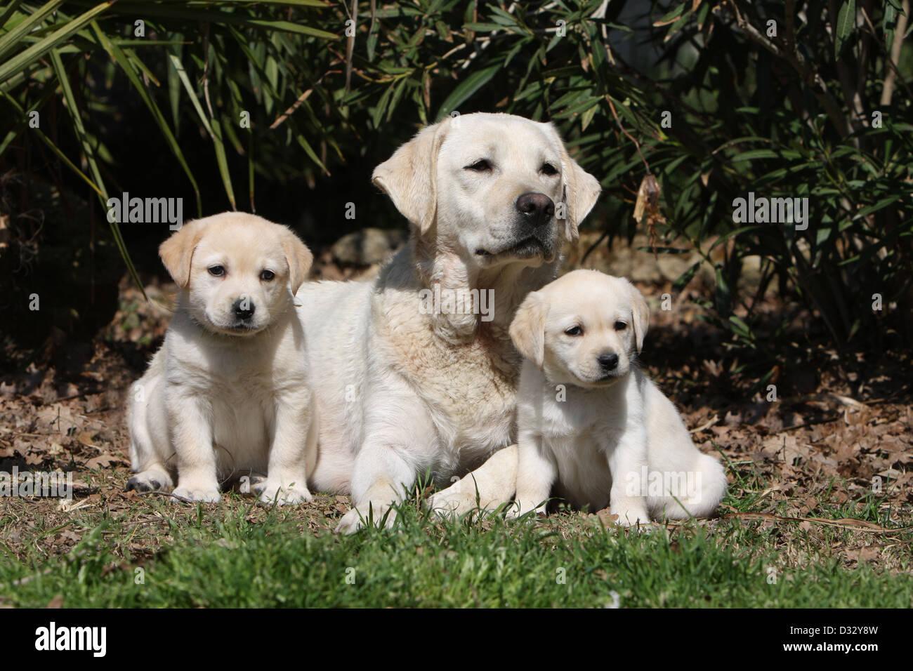 Labrador Retriever Erwachsenen Hund Und Welpen Die In Einem Garten Gelb Stockfotografie Alamy