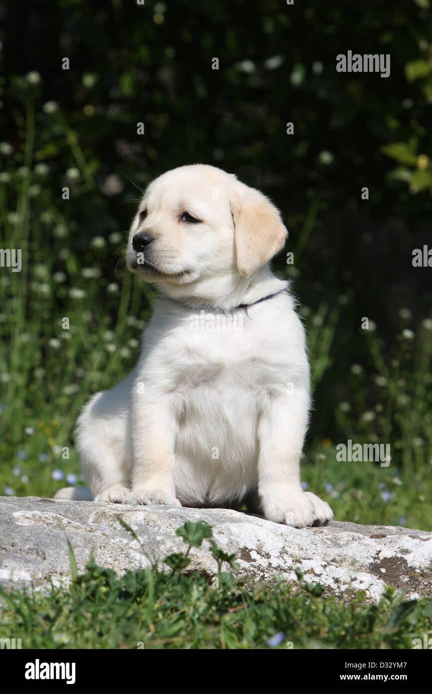 Gelbe Labrador Retriever Welpen Stockfotos Und Bilder Kaufen Alamy