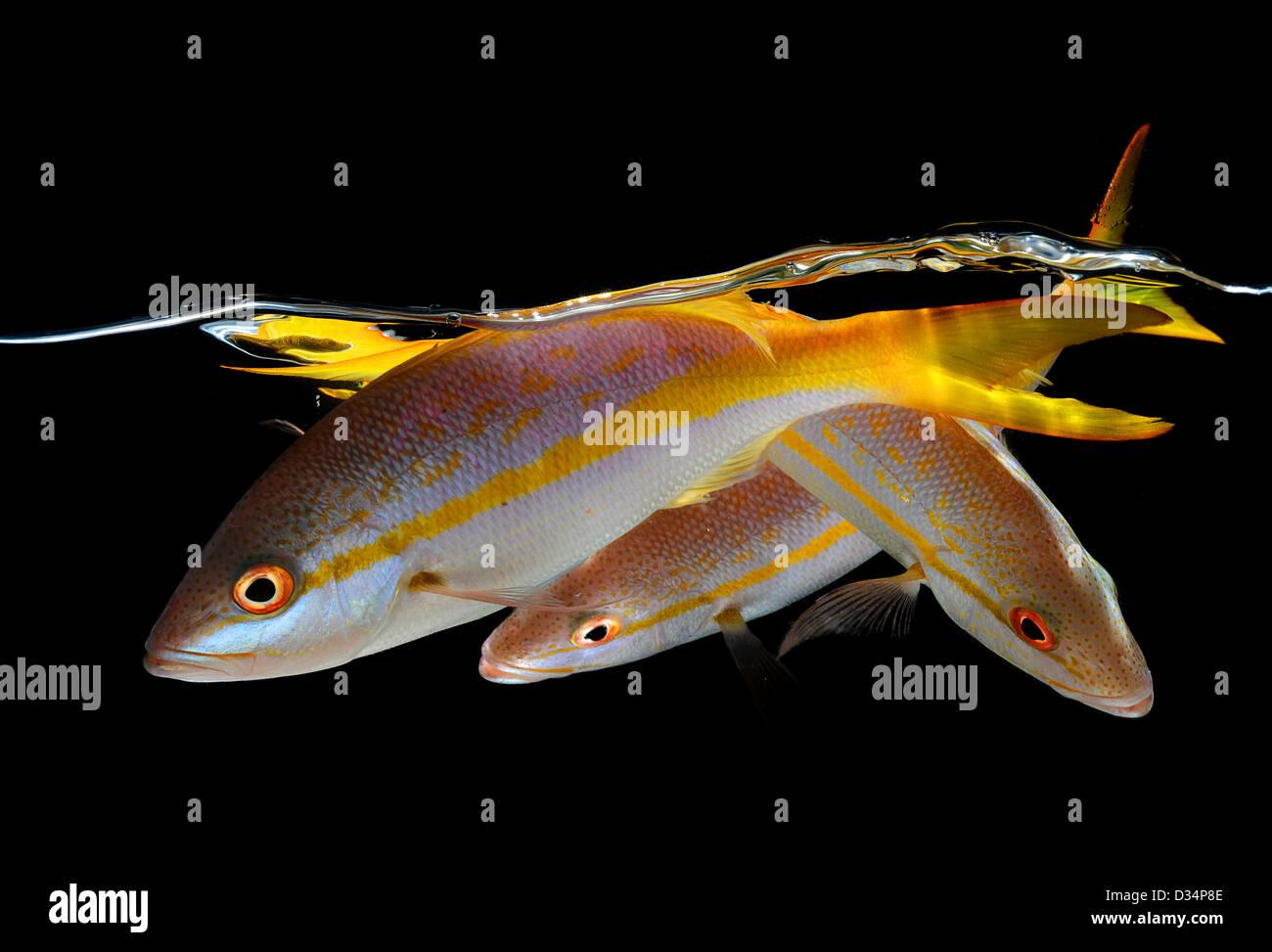 Drei Gelbe Rute Schnapper unter Wasser auf schwarzem Hintergrund Stockbild
