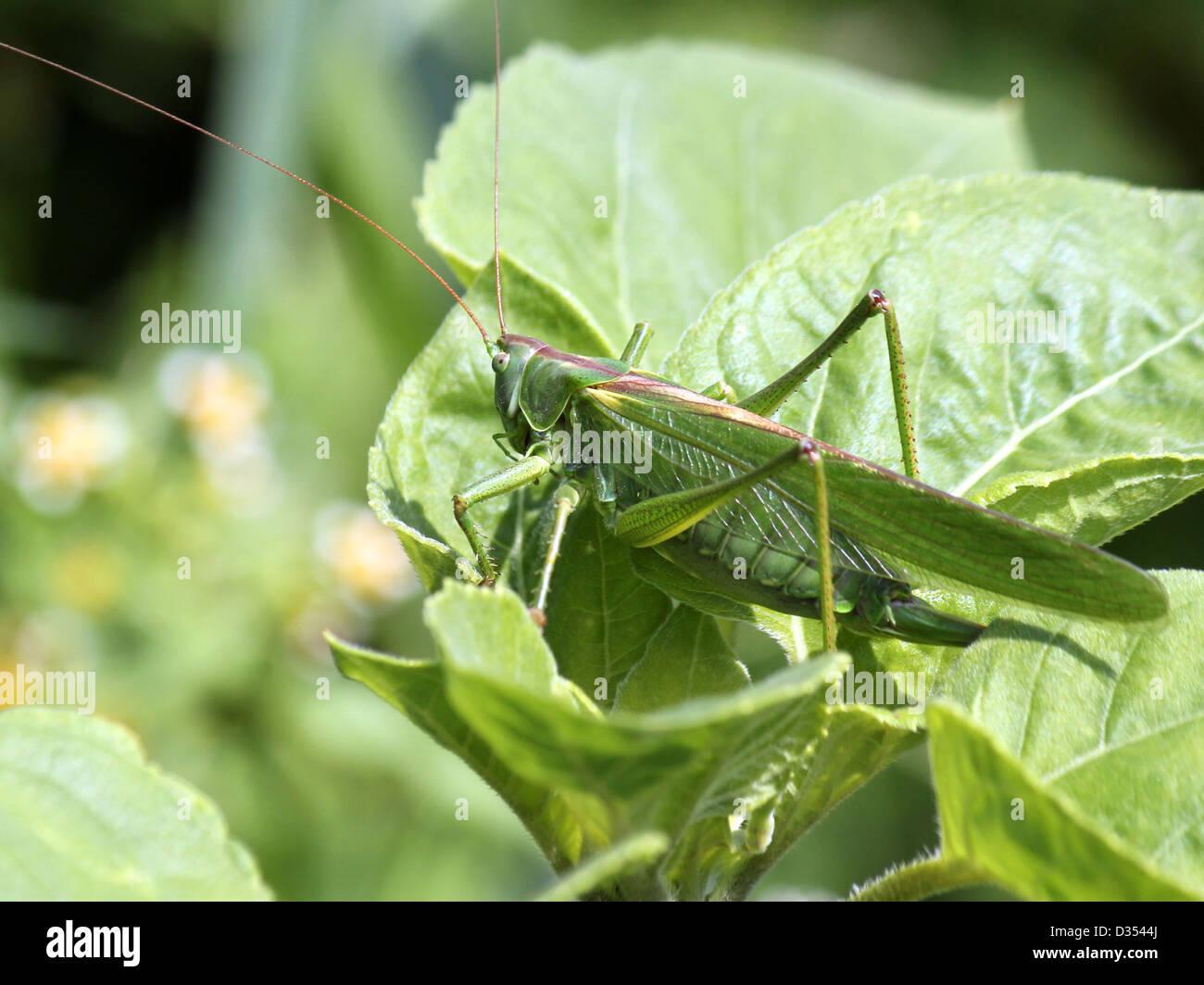 Detaillierte Makro eine große Green Bush Cricket (Tettigonia Viridissima) Stockbild