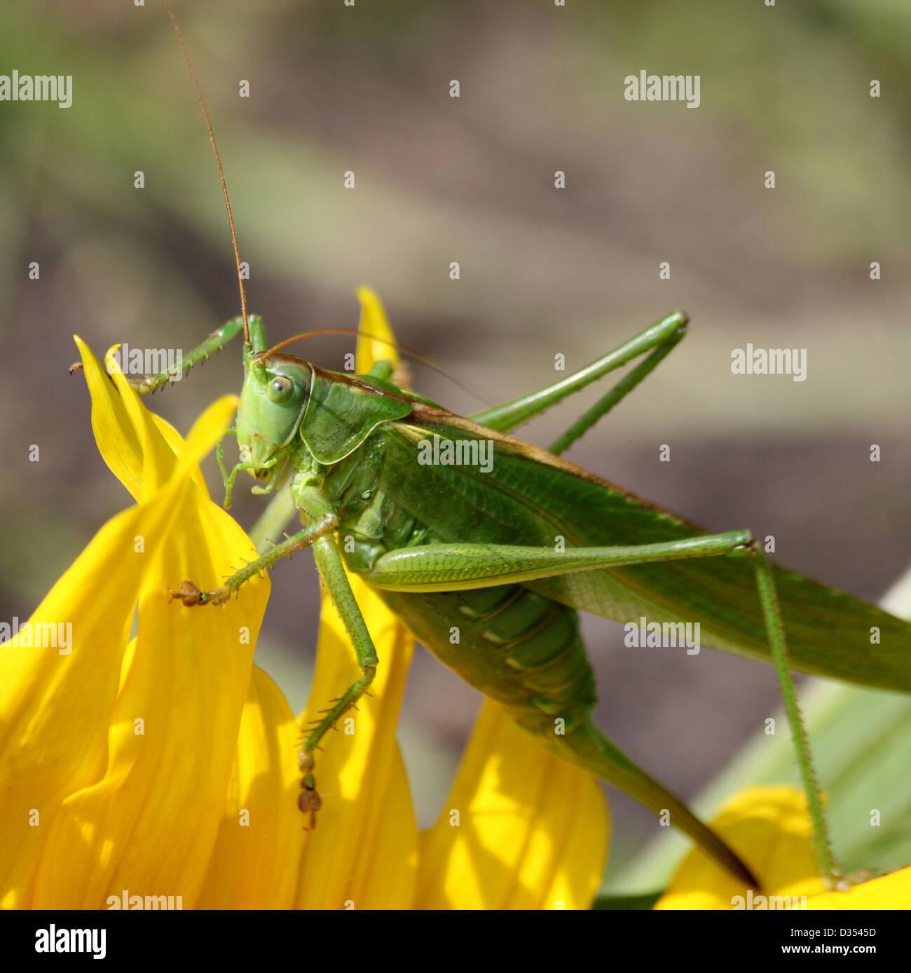Detaillierte Makro eine große Green Bush Cricket (Tettigonia Viridissima) auf eine Sonnenblume Stockbild