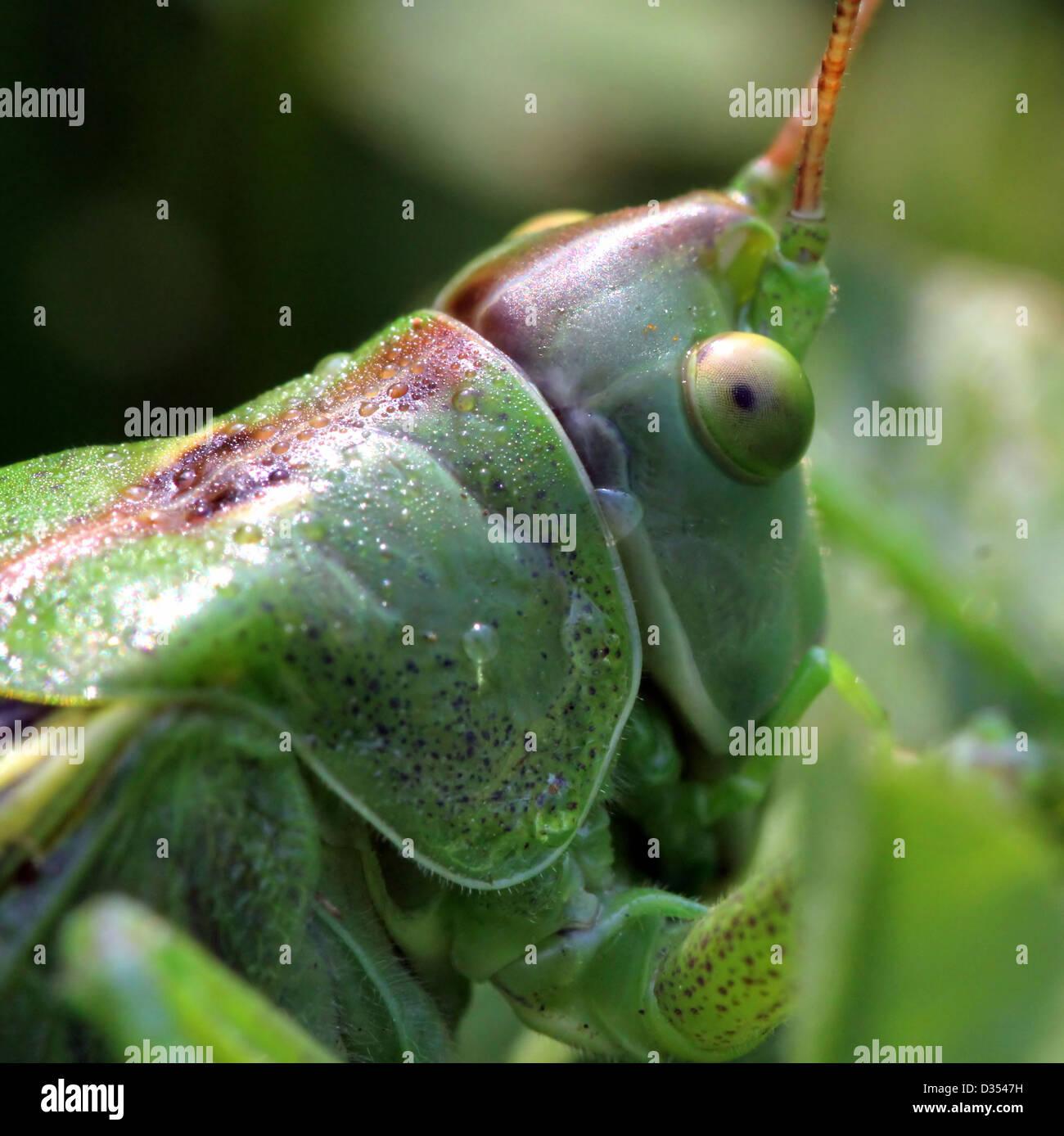 Extreme Makroaufnahme des Kopfes einer großen Green Bush Grille (Tettigonia Viridissima) Stockbild