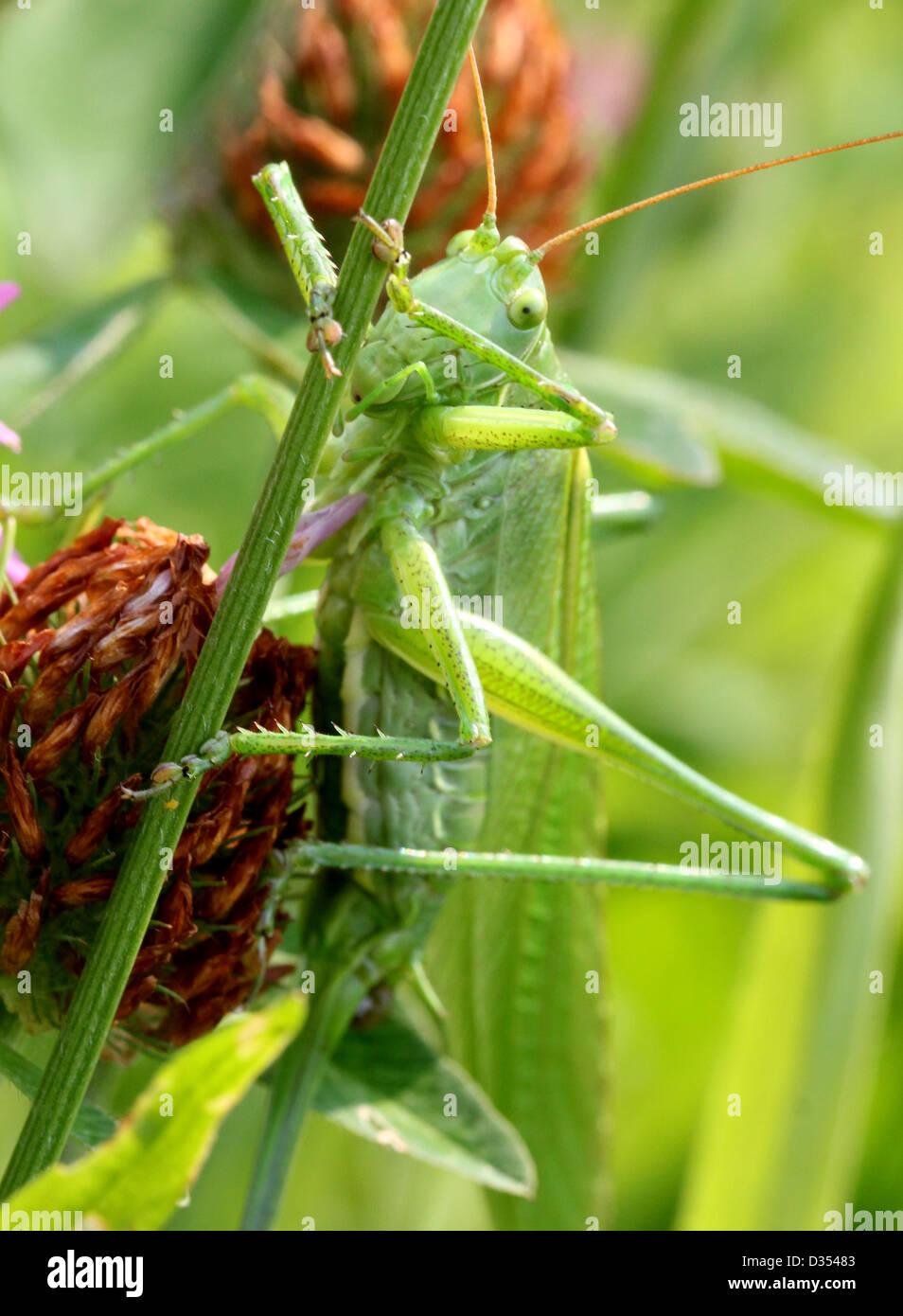Detaillierte Makro eine große Green Bush Cricket (Tettigonia Viridissima) vor der Kamera Stockbild