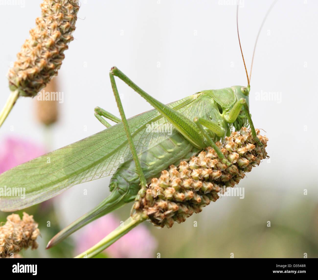 Weiblichen europäischen Great Green Bush Cricket (Tettigonia Viridissima) Stockbild